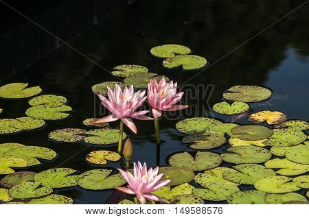 Water lily flower blossom nymphaeaceae closup in pond