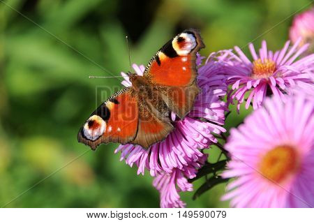 Tagpfauenauge red Butterfly with colorfull flowers close up
