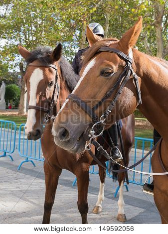 Two brown bay smart good strong horse with beautiful eyes bridles to stand on the street Madrid