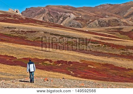 the man go to Colorful autumn landscape with red Dwarfish birches in the Altai mountain Siberia Russia