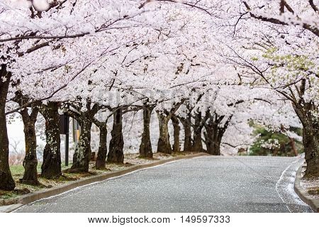 Cherry Blossom Path In Beautiful Garden In Spring (selected Focused On Tree At Middel Of Path)