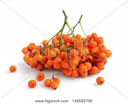 Fresh Ripe Rowan Berries