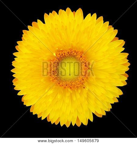 Strawflower (Xerochrysum Bracteatum) on a black background. Isolated from background.