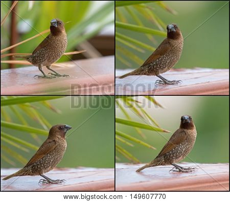 Collage set of Scaly-breasted Munia bird in brown color with marking on breast and belly during summer in Thailand, Asia (Lonchura punctulata)