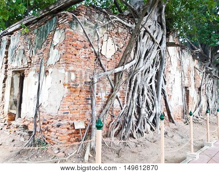 Ancient Thai Church at Sang Kratai Temple ThailandRoots on the Church Bodhi Tree Angthong Thailand