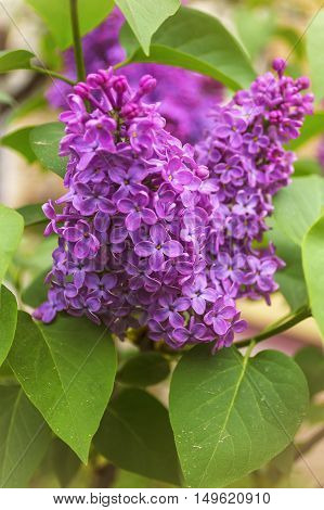 Blooming common lilac (Syringa vulgaris) in spring garden. Selective focus with shallow depth of field.