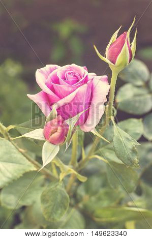 Beautiful pink rose in a garden selective focus
