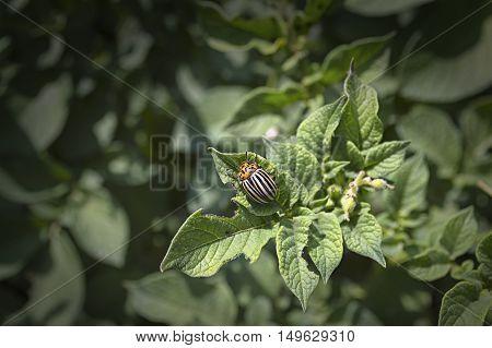 Colorado bug eats potato leaves. Selective focus.
