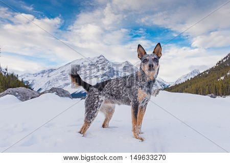 Blue Heeler Puppy playing in the snow in the mountains in winter Kananaskis Country Alberta Canada