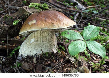 A King Bolete Mushroom (Boletus edulis) in the forest