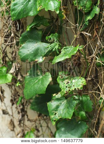 diseased and rotten Coccinia grandis scarlet gourd or ivy gourd on concrete wall