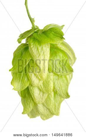 Hop flower seed cone on white background. Hop plant Humulus lupulus, used as a flavoring and stability agent in beer and as a herbal medicine. Macro food photo close up.