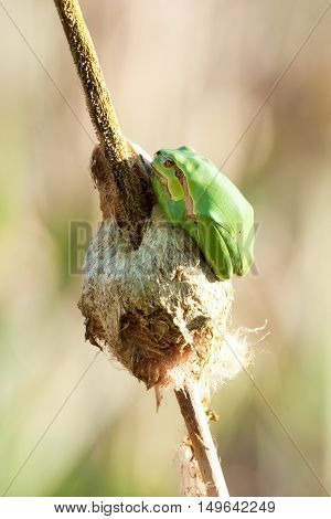 European Tree Frog On A Reed 2