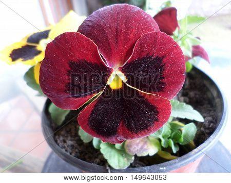 Pensamiento flor de jardines ornamentales de invierno