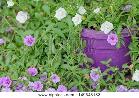 Violet And White Flower Petunia In Hotchpotch. Mix Petunia Flowers In The Garden In Summer. .