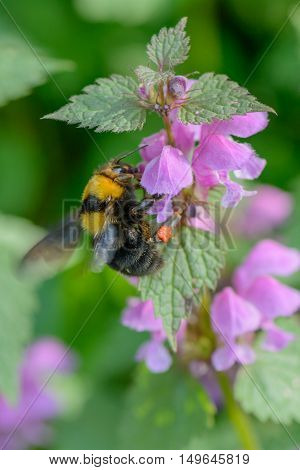 Bumble-bee Sitting On Flowers. Vivid Vertical Close-up View With One Bee Within Summer Flowers. .
