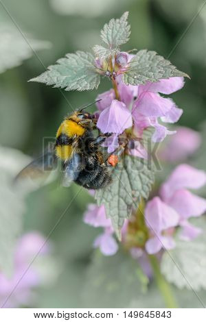 Bumble-bee Sitting On Flowers. Vertical Close-up View With One Bee Within Summer Flowers. .