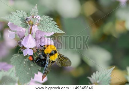 Bumble-bee Sitting On Flowers On Blue Background. Horizontal Close-up With One Bee Within Summer Flo