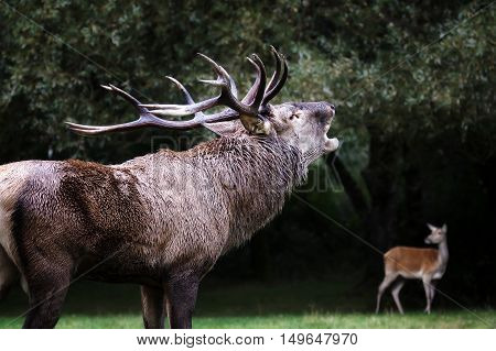 A male deer in the foreground with its mighty horns. With the mouth emits the classic roar in the mating season. In the background a female deer and bush.