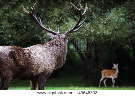 A male deer in the foreground with its mighty horns. In the background a female deer on the edge of the forest.