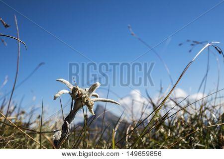 edelweiss flower in the karwendel alps in summer