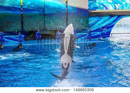 Orlando, Florida, USA - April 22, 2012: the orca Tilikum, the killer whale, performs in the shamu show at Seaworld.