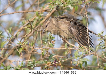 House Sparrow (Passer domesticus) female perched on a Branch of a Shrub stretching a Wing