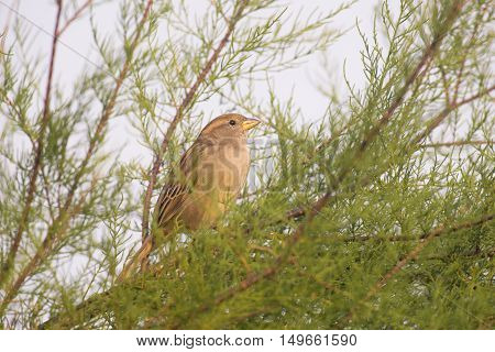 House Sparrow (Passer domesticus) female sitting in a Shrub