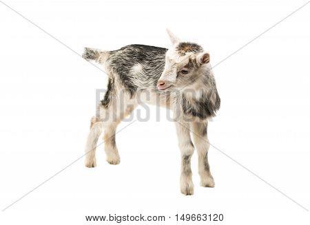 goat little farm animal isolated on white background