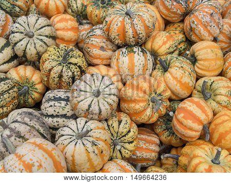 Harvest: Heap of Festival Squash Cucurbita pepo