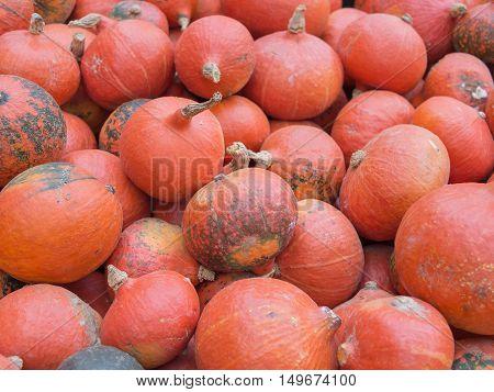 Harvest: Heap of Japanese Red Kuri Squash Hokkaido Cucurbita maxima