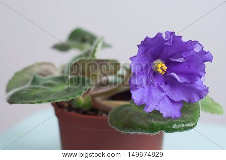 Violet spring primroses flowers primula polyanthus in a brown flowerpot, closeup.