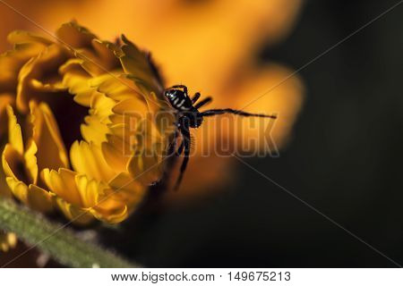 small black spider on orange petals flower outdoor macro closeup