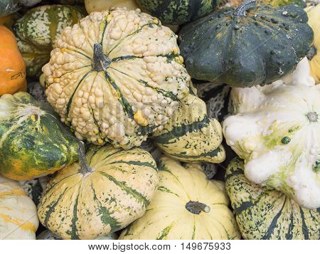 Harvest: Heap of Patisson Squash Cucurbita pepo