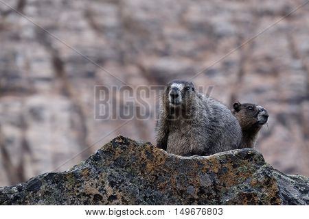 Hoary Marmots family in Jasper National Park. Canadian Rocky Mountains. Alberta. Canada.