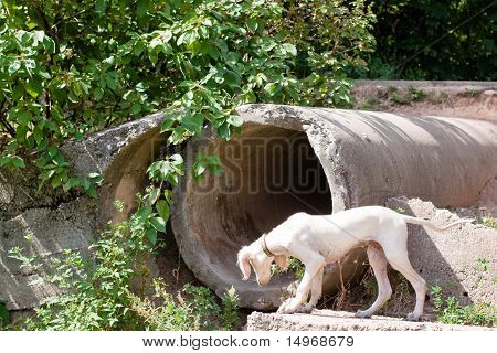 A standing white saluki pup and big concrete pipe poster