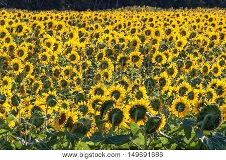 Field of Bright Yellow Sunflowers Viewed From Rear