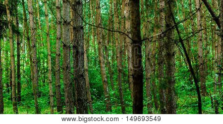 Many tree trunks in a green forest