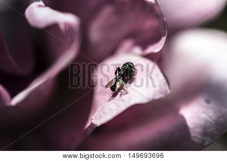 small fly caught by a small black spider on a pink flower petal outdoor macro closeup