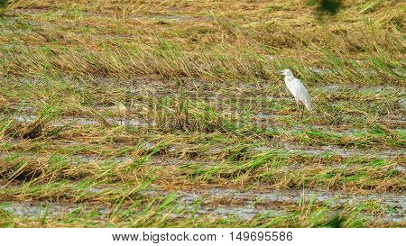 Open-billed stork feeding after harvest. The fields after harvest