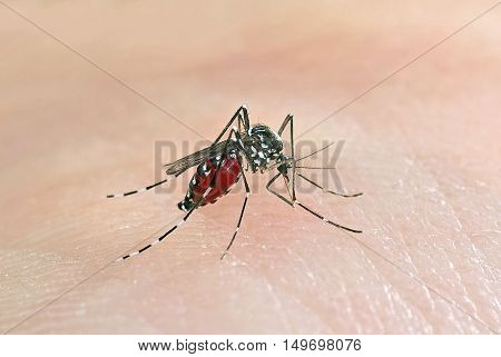 Tiger mosquito (Aedes albopictus) full of blood, an alien species spreading exotic diseases
