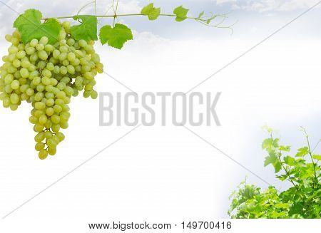 Background of the cluster of the ripe table grapes left fragment of a grapes vine right and an empty central part