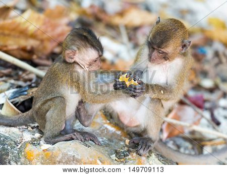 Fighting monkey cubs at the Monkey Beach of Phi Phi Island at Thailand