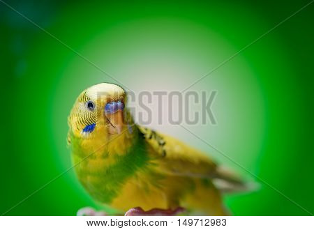 one yellow parrot budgies.bird on the green background.