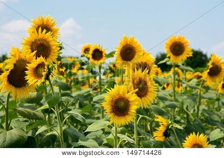 Field with sunflowers and beautiful blue sky. Sunflower is an annual flowering plant. Used for the production of vegetable oil, margarine, mayonnaise, polish and soap.