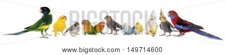common pet parakeet African Grey Parrot lovebirds Zebra finch and Cockatie lin front of white background