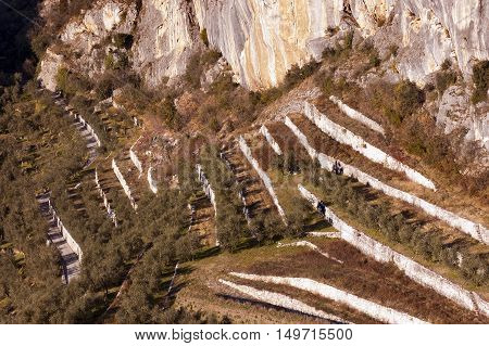 Cultivation of olive trees in terraces at the foot of Mount Collodri in Arco di Trento Trentino Italy