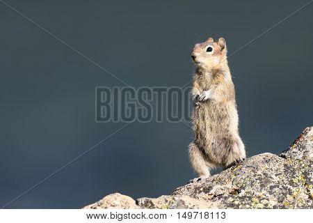 Golden-mantled Ground Squirrel Jasper National Park Alberta