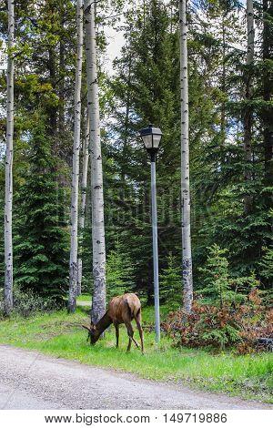 wild elk in a campground jasper national park canada