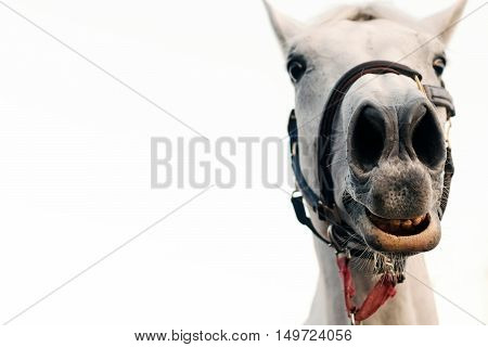 Funny horse portrait isolated white background. Funny